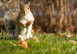Waynesburg Squirrel