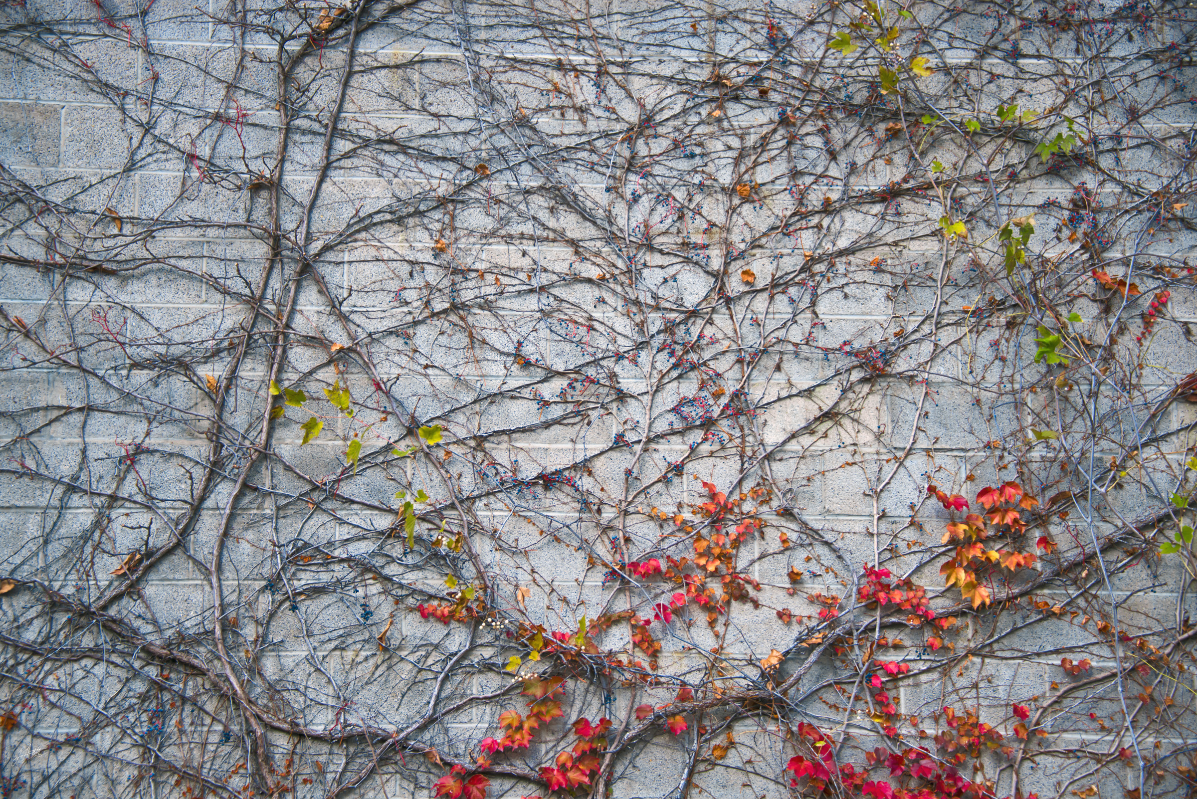 Day325_Vines_November 22
