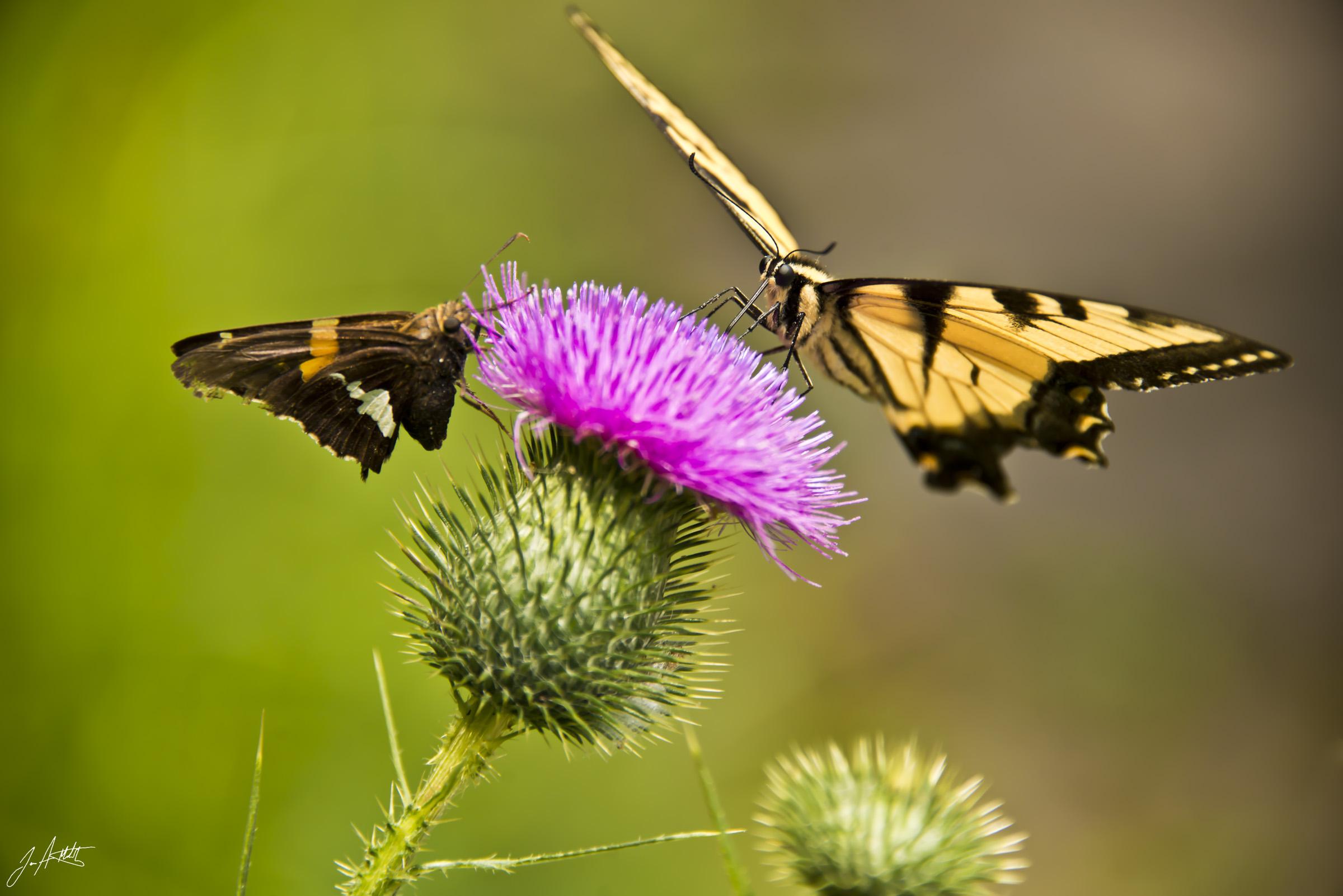 Day 220_beautifulbutterflies_August8
