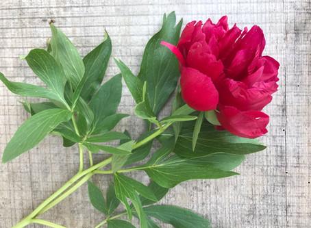 Pfingstrose - eine symbolträchtige Blume