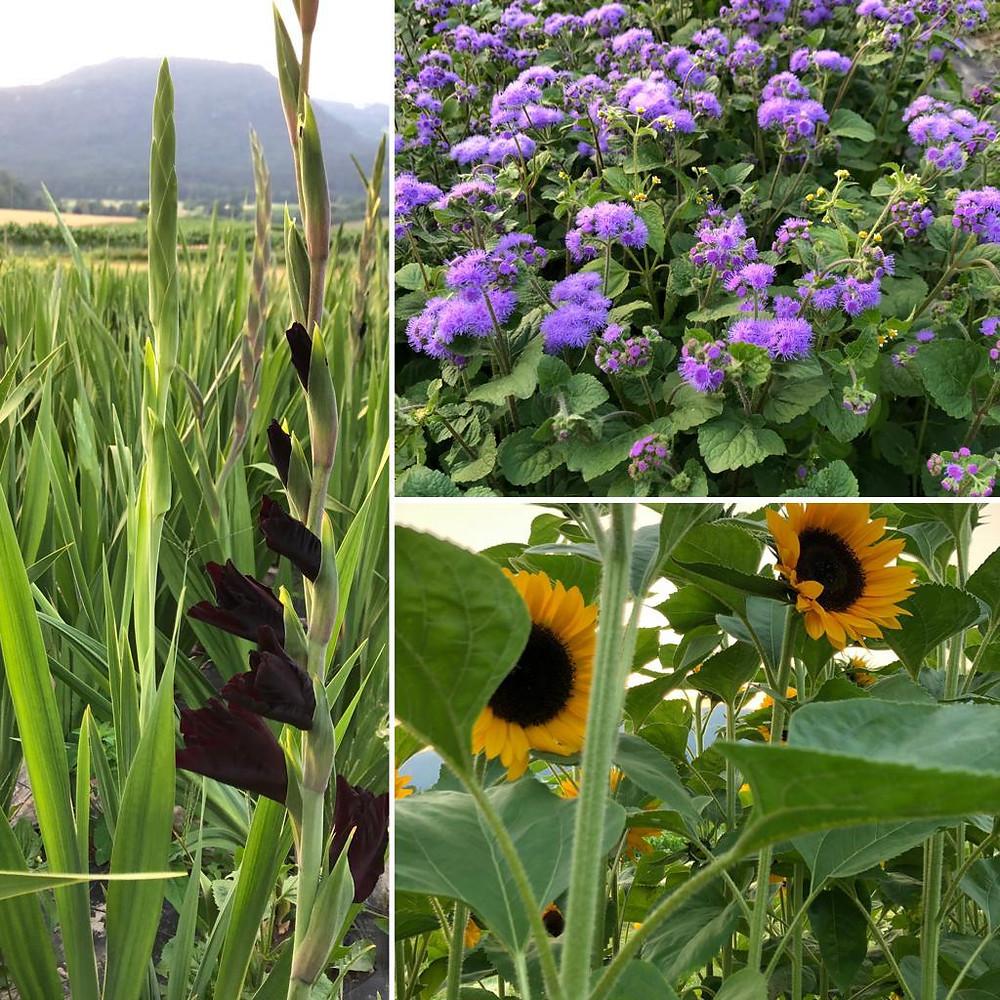 Blumen, Sonnenblumen, Gladiolen