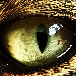 Cat eye, , why cats' vision is great for cat agility