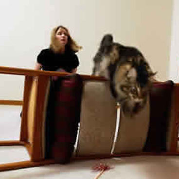 Cat agility at home, Maine Coon cat jumping over dining room chairs