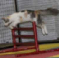 Turkish Angora doing Cat Agility jumping over hurdle