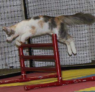 Turkish Angora doing Cat Agility jumping over hurdle