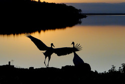 風連湖の夕鶴