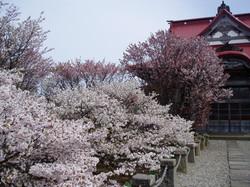 清隆寺の桜