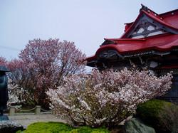 清隆寺_千島桜