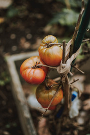 three-tomatoes-1563515.jpg