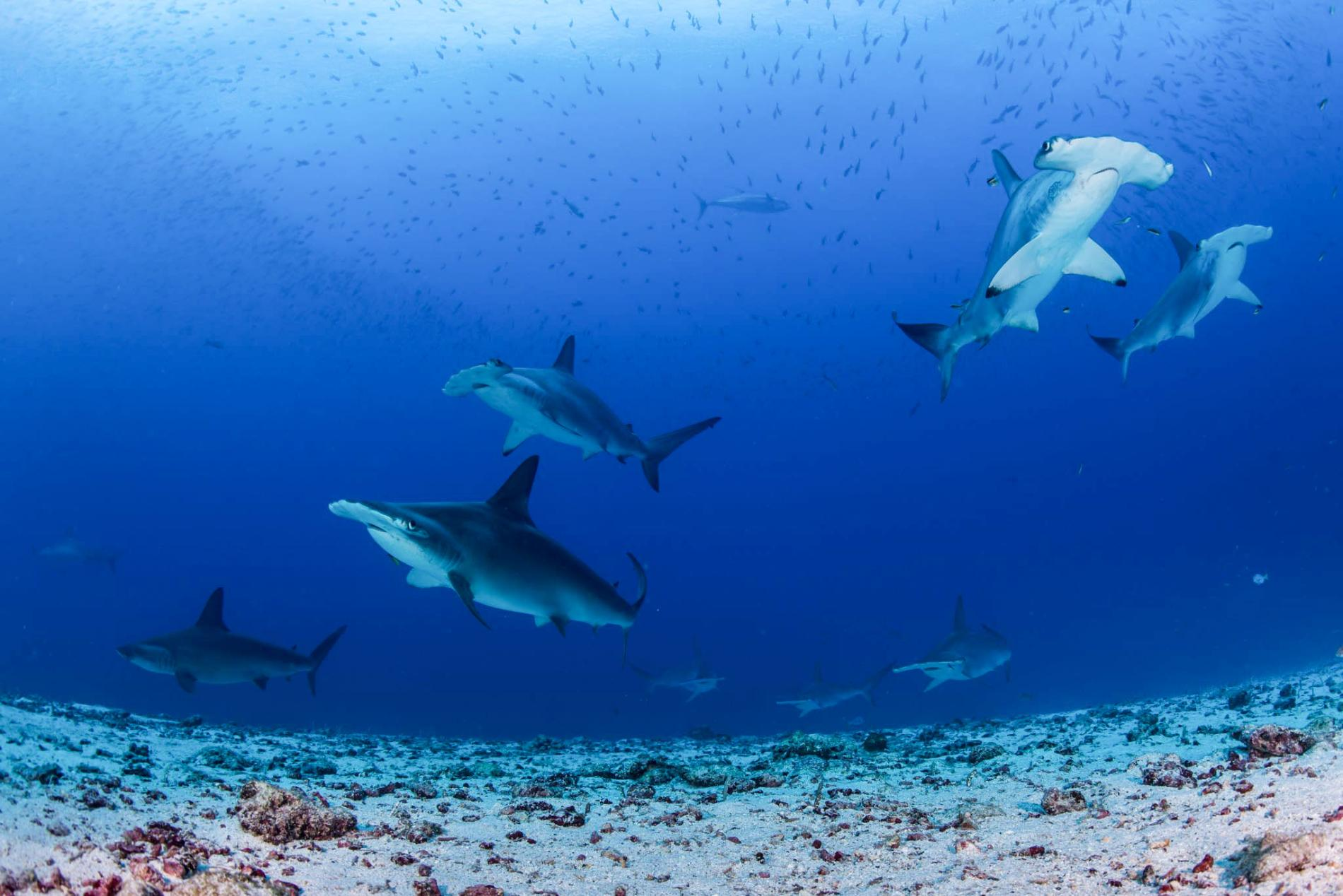 check this top 5 about sharks seen in galapagos ecuador tours