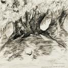 Zeer oude olijfbomen bij Mirabel-aux-Baronnies