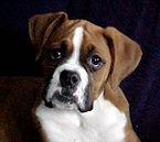 my boxer puppy