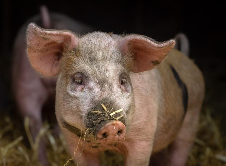 African swine fever in China affects Canadian pork export market
