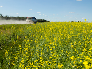 An SUV kicks up a cloud of dust driving past a canola farm in Parkland County, Alberta.
