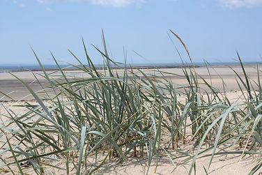 Elyme des sables (Leymus arenarius)