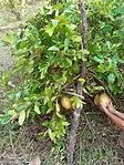 HMF Flora Lemon 20210117 (1).jpg
