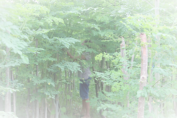 Moringa being harvested.  Planted from three-month old seedlings and then six months later the trees are over ten feet high.