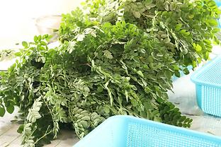 """Moringa """"wet matter"""" or freshly harvested leaves."""