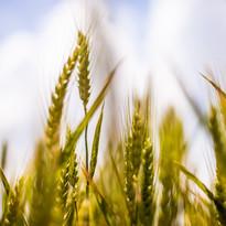 agriculture-barley-cereals-1585.jpg