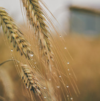 agriculture-barley-corn-7957.jpg