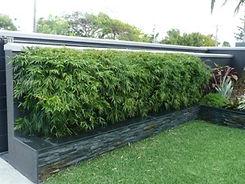 Dwarf Bamboo Hedge.jpg