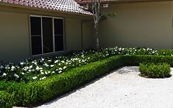 Buxus and Gardenia Florida.JPG