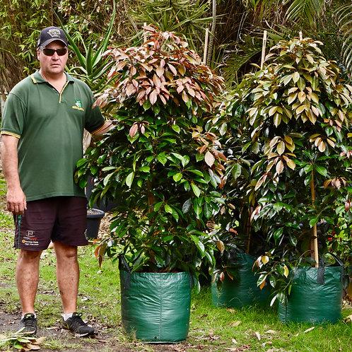 Eleocarpus Eumundii