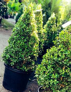 Buxus Cones 330ml.jpg