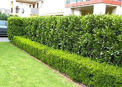 viburnum buxus.jpg