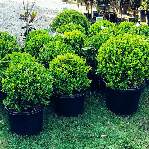 BUXUS TOPIARY BALLS | DELIVERY AVAILABLE