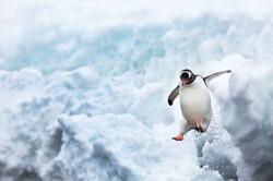 Ira Meyer Penguins_MG_8577