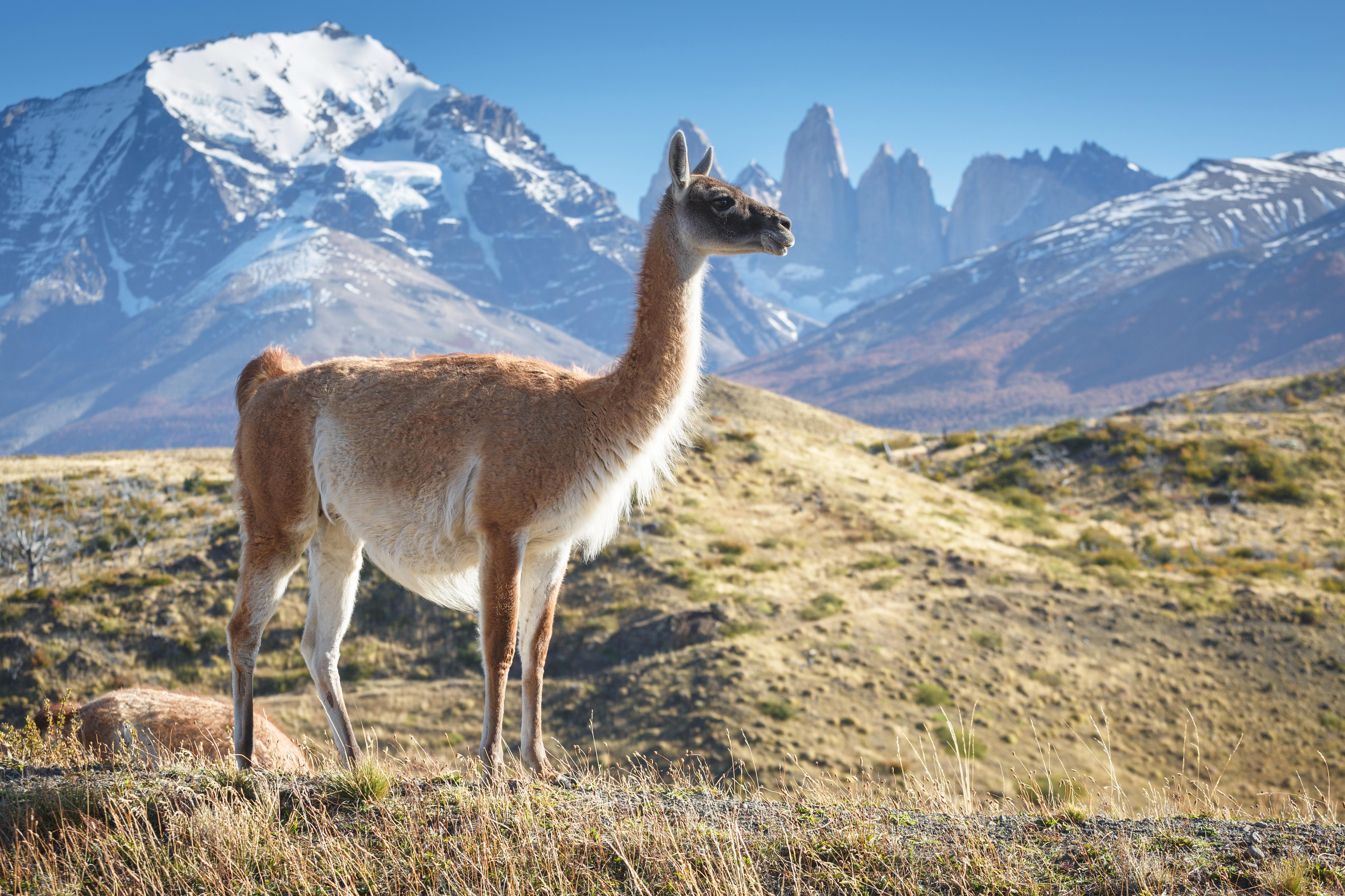 Guanaco - Torres - CHILE