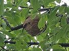 nid de frelon asiatique comminges