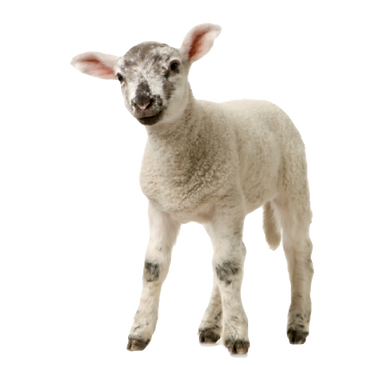 lamb%20backwards_edited.png