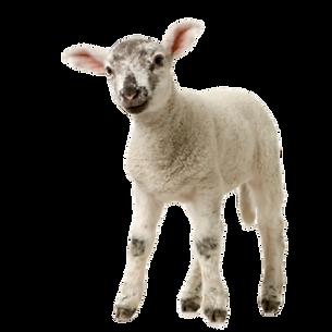 lamb%20backwards_edited.png