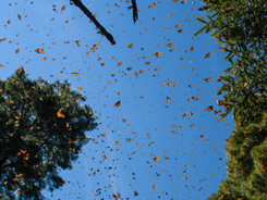 Mexico - Monarch Migration