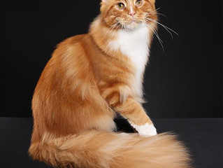 Maine Coon Cat of the Year