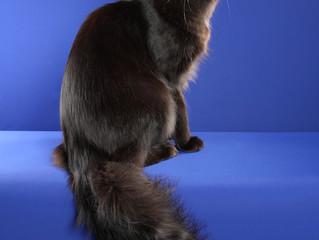 Best Allbreed Cat in Show (Columbus, Ohio)