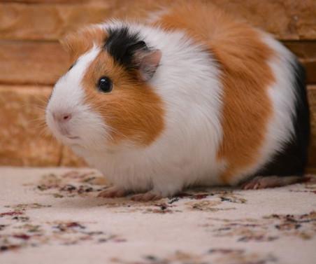 un cochon d'Inde