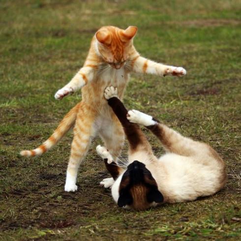 deux chats se battent de façon dramatique