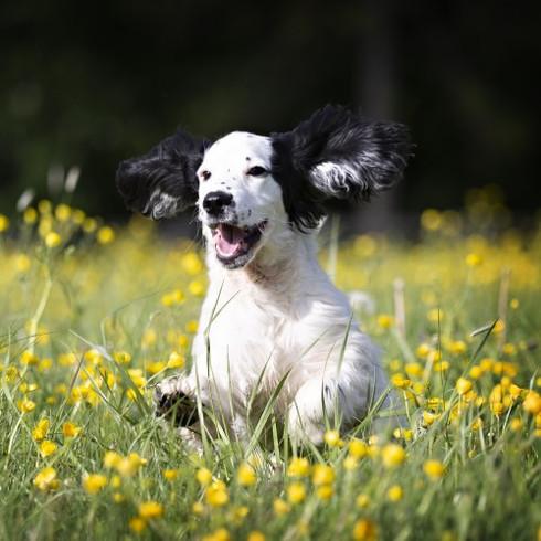chien qui traverse joyeusement un champ