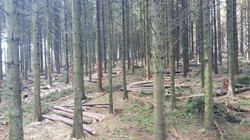 spruce 2nd  thinning