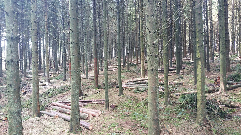 Forest thinning, Burwarton Estate, shropshire forestry, forestry contractor, timber merchant, forestry management, timber harvesting Shropshire. timber harvesting west mids