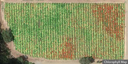 Etude chlorophyle de vignes par drone