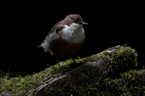 White Throated Dipper