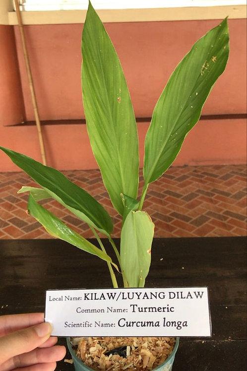 Luyang Dilaw