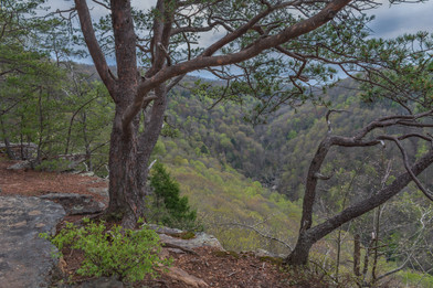 Twisting Trees on the Edge of a Cliff