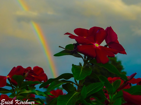 Amazing Rainbow Over Beautiful Red Flowers in Pigeon Forge, TN