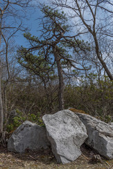 Tree Atop Mt. Davis