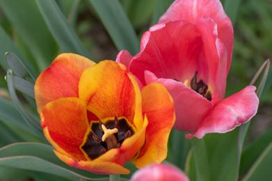 Vibrant Spring Tulips
